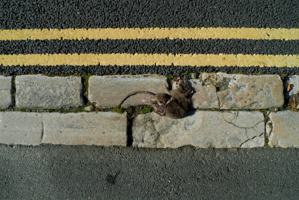 Dead Rat Yellow Lines